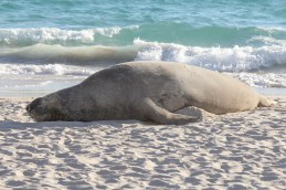 Southern elephant seal @ Perth beach