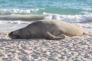 Southern elephant seal @ Perth beach