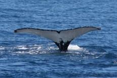 Humpback Whale @ off Fremantle