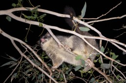 Common brush-tailed possum @ Hestor Park, Langford