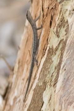 Buchanan's snake-eyed skink @ Tomato Lake