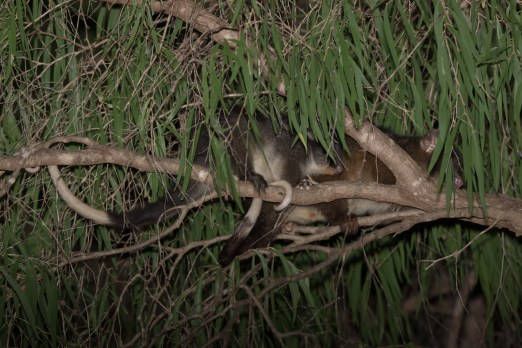 Western Ringtail Possum @ Dawesville