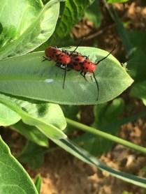 red milkweed beetles (with guest)