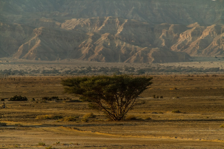Aqaba Desert Trees