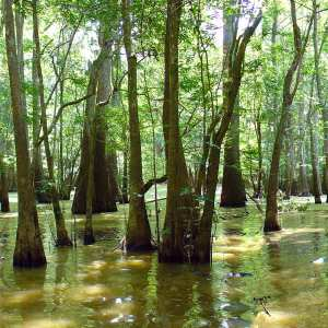 Cypress Swamp near the Champion Cypress
