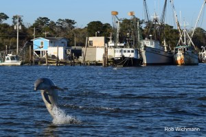 A dolphin jumps on a tour - photo courtesy of Rob Wichmann