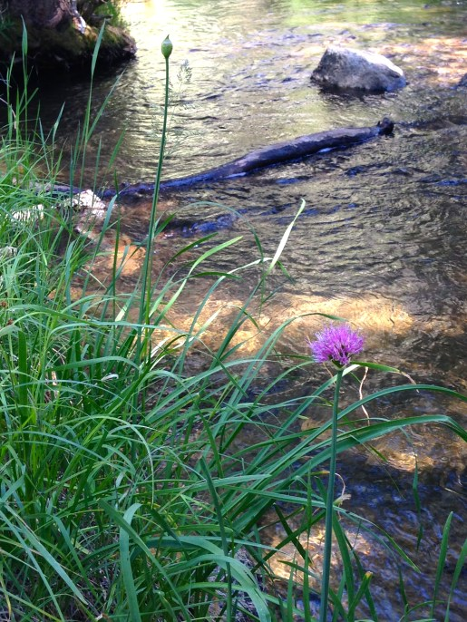wild onions blooming by a stream