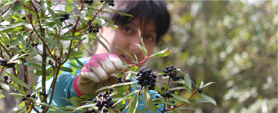 Wild Harvest Tasmanian pepperberry