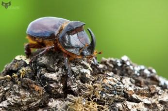 scarabeo-rinoceronte-oryctes-nasicornis_25184284417_o