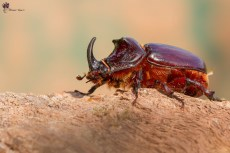 scarabeo-rinoceronte_29602469388_o
