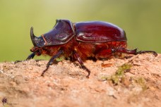 scarabeo-rinoceronte_41665650230_o