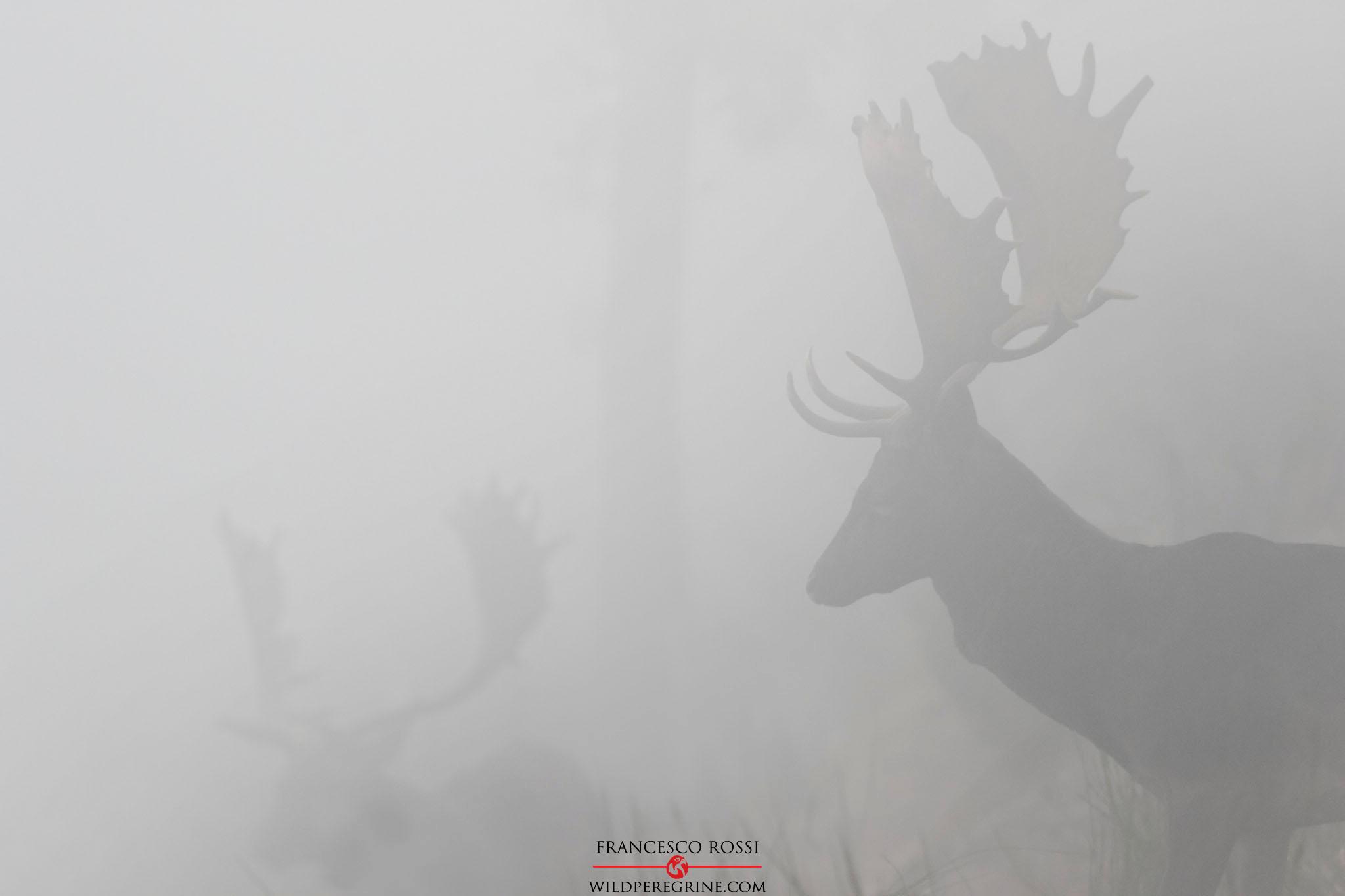 Daini nella nebbia