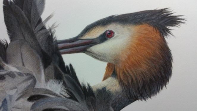 great crested grebe preening grooming feathers water bird drawing pencil coloured pencil colored pencil art artwork