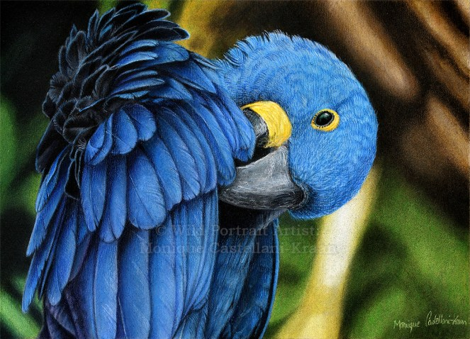 """""""Hyacinth Macaw"""" - A4 drawing in coloured pencils with powder blender on UArt 800 sanded paper. Reference photo by Jan Willemsen from wildlifereferencephotos.com"""