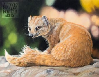 """""""Basking Mongoose"""" - 11 x 14 inches, pastel pencils and pan pastels on Clairefontaine Pastelmat. Art by Wild Portrait Artist. Available for sale."""