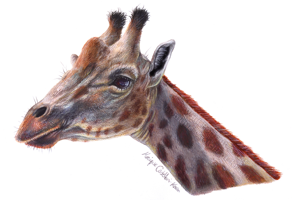 """Gentle Gaze"" 21 x 14cm drawing in coloured pencil. Art by Wild Portrait Artist."