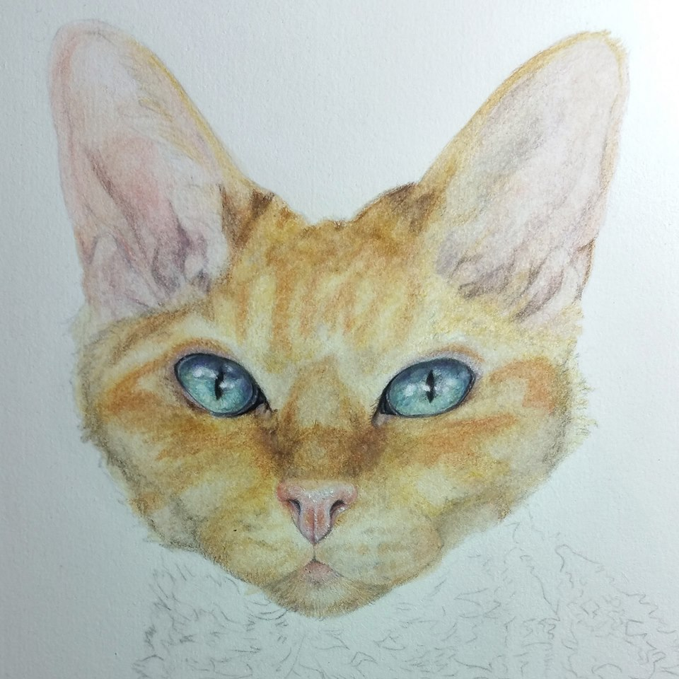 pearl cat sphinx coloured pencil portrait colored pencil drawing art commission pet portrait