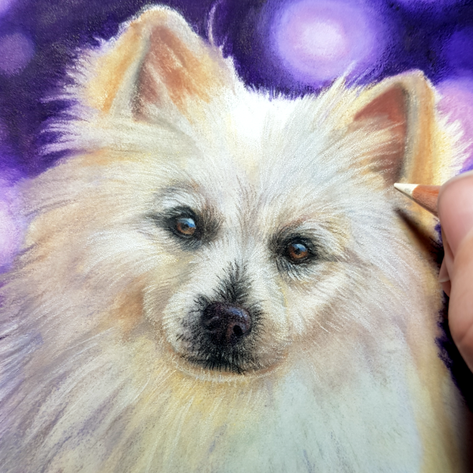 closeup image of a pet portrait commission of a work in progress coloured pencil drawing of a spitz dog with a purple bokeh background