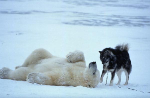 Polar Bear and Husky