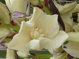 Spanish Dagger Blossom