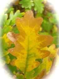 Gamble's Oak Leaf