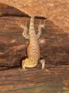 Resilient Side-Bloched Lizard