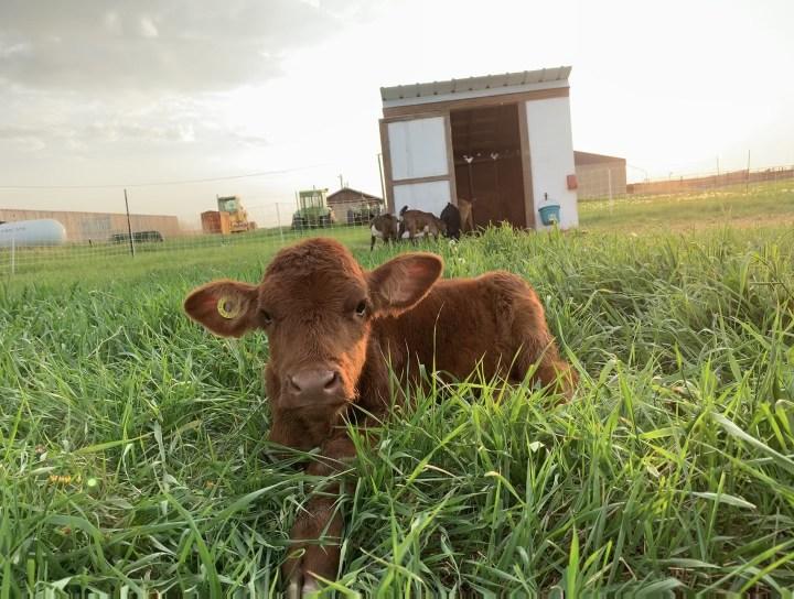 Belle's Story: The Loss of My Heifer Calf