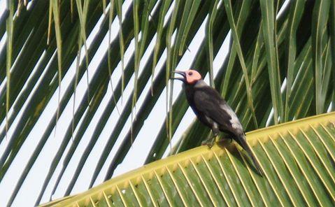 The Coleto (Sarcops calvus).
