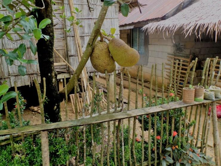 jackfruit fruit river tours siargao san isidro