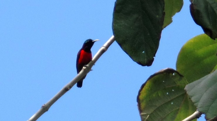 Purple-throated sunbird (Leptocoma sperata).