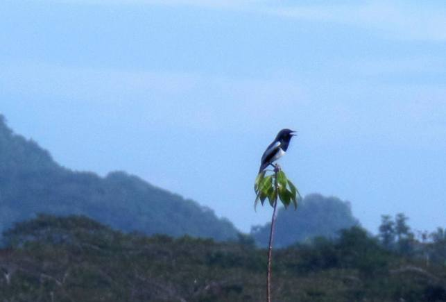 Philippine magpie-robin (Copsychus mindanensis) - Siargao Island birds of siargao