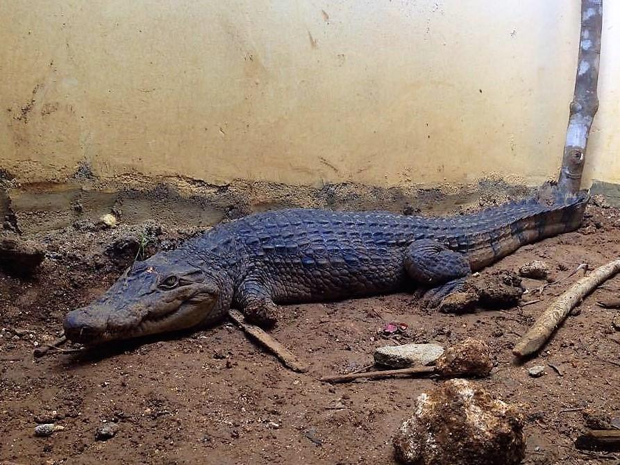 Crocodile in Jaboy