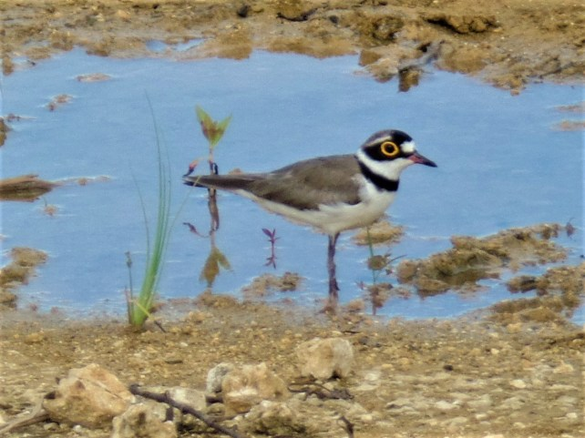- Siargao Island (Little Ringed Plover) birds of siargao