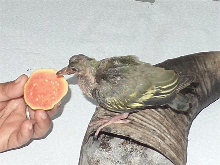 The Philippine green pigeon (Treron axillaris)