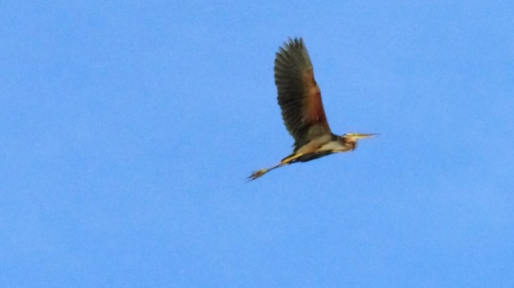 purple-heron