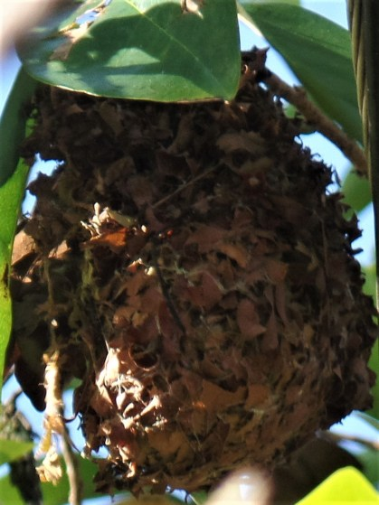 Red-keeled Flowerpecker and Nest - Siargao Island