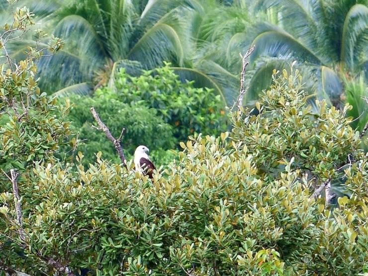 Brahminy kite (Haliastur indus) on Siargao Island.
