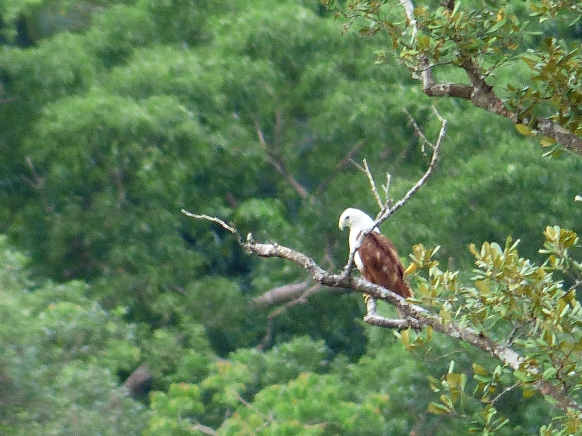 A Brahminy Kite Across the River