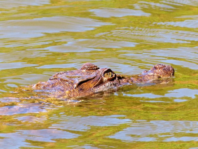 Philippine Crocodiles at Siargao's Paghungawan Marsh