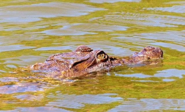 The Philippine crocodile(Crocodylus mindorensis) at Paghungawan Marsh in Pilar, Siargao.