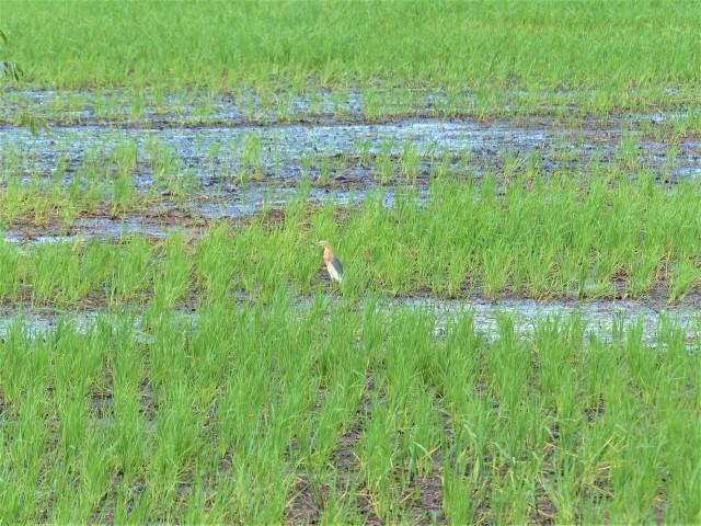 A Javan pond heron (Ardeola speciosa) in breeding plumage on Siargao Island.
