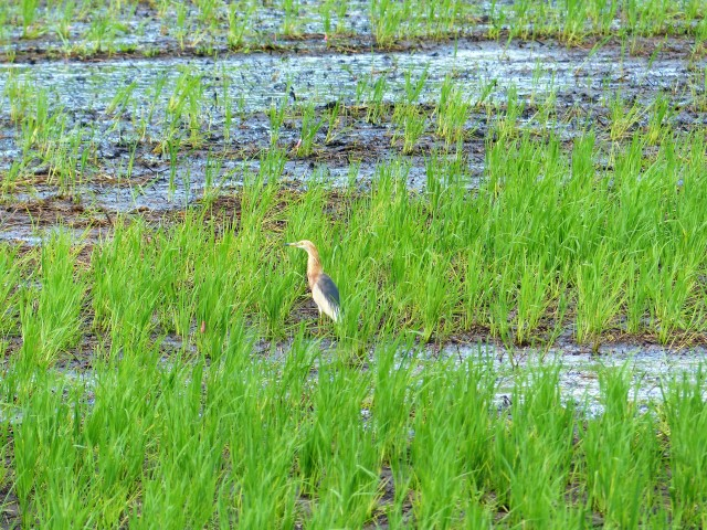 A Javan pond heron (Ardeola speciosa) in breeding plumage on Siargao Island.