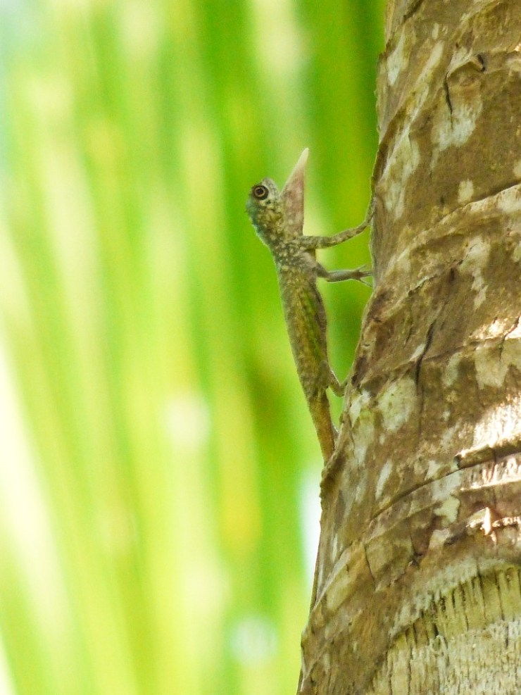 A species of draco flying lizard. Siargao. Philippines.
