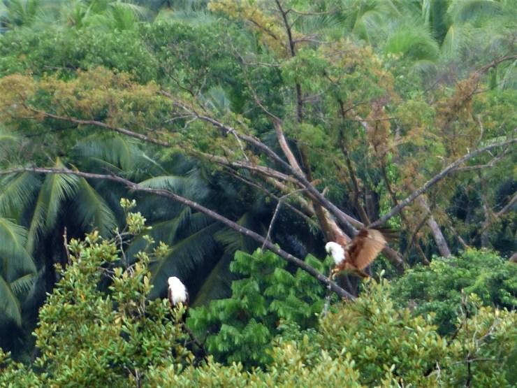 Brahminy kites (Haliastur indus) on Siargao Island.