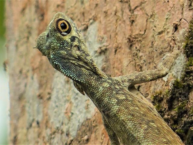 Draco cyanopterus