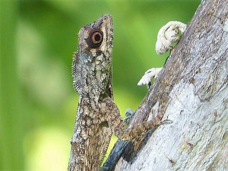 Tambokaka: The Philippine Flying Lizard