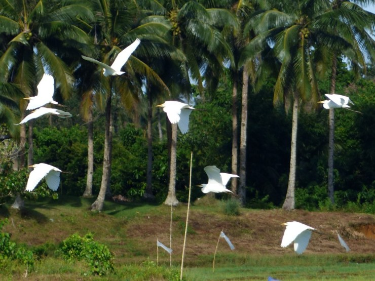 Egrets in flight.