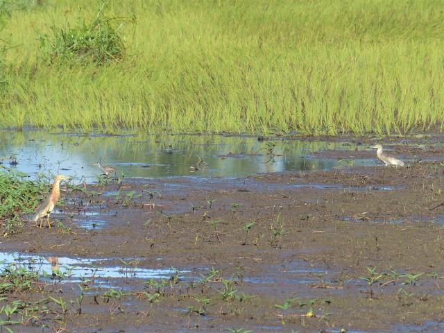 javan pond-heron (ardeola speciosa), White-browed crake