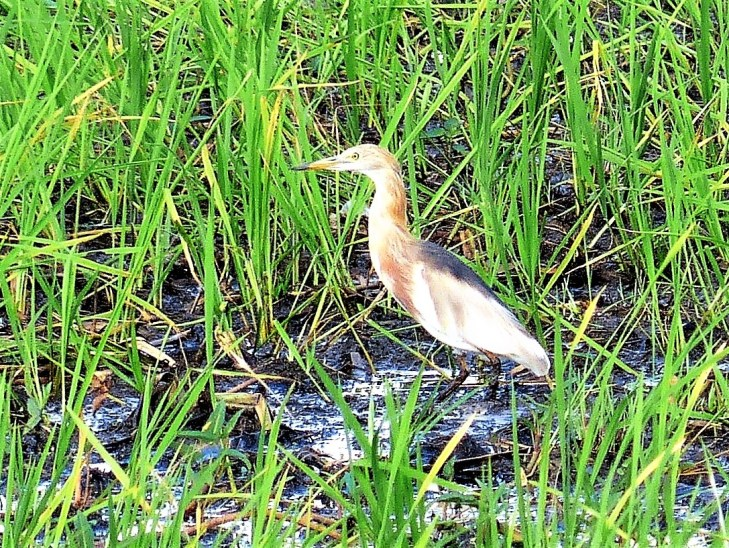 Javan pond heron birds of siargao