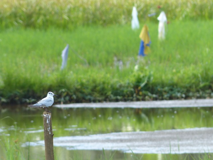 A Whiskered tern (Chlidonias hybrida) seen this morning in the rice paddies of Siargao Island,